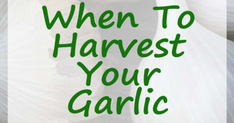 Harvesting Garlic fb