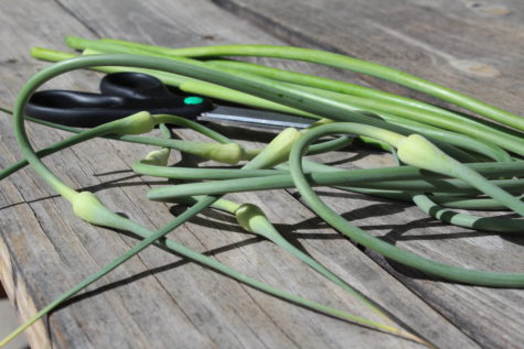 Garlic Scapes 3