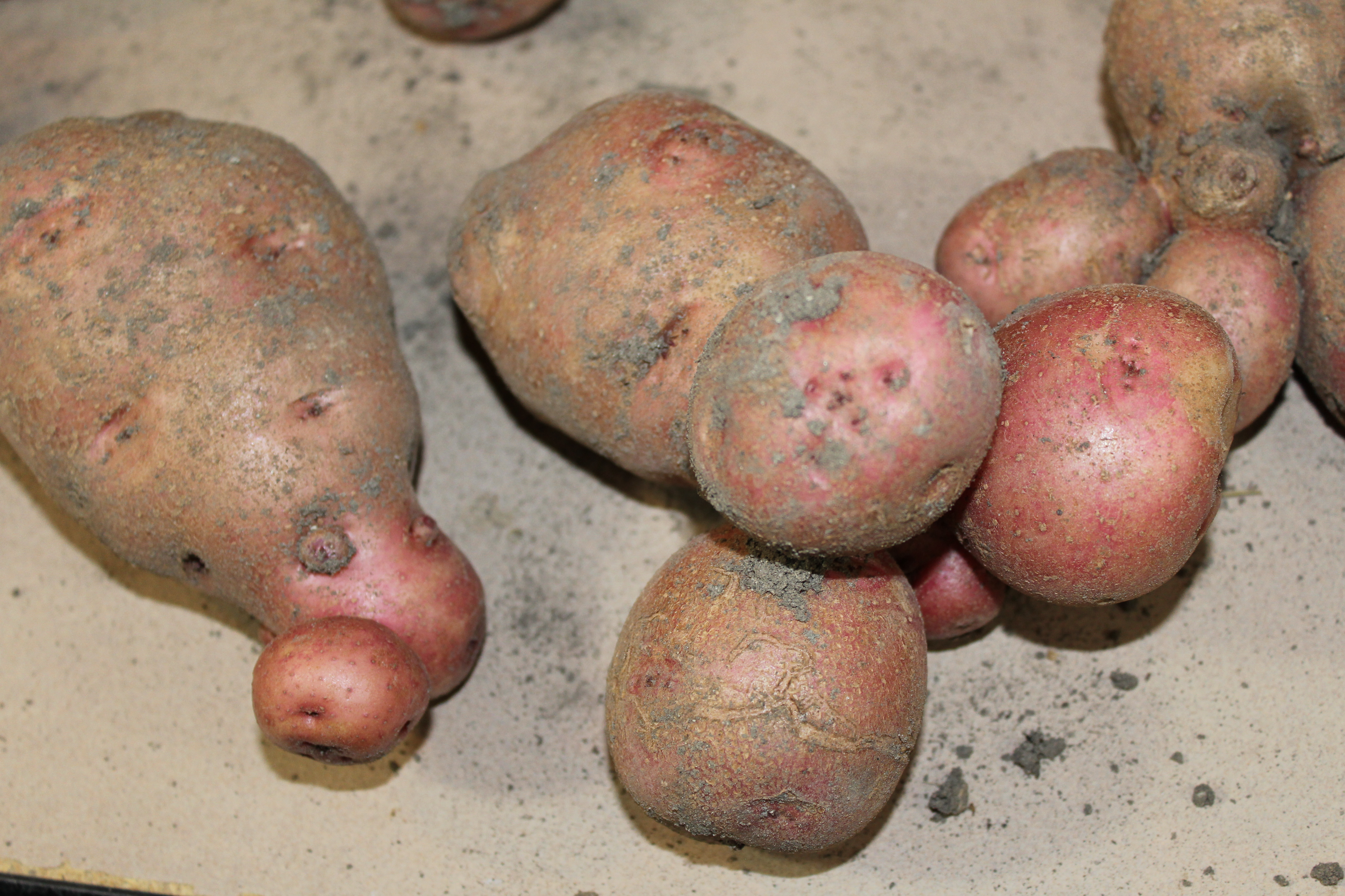 funny shaped potatoes2