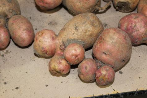 funny shaped potatoes 3