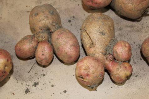 funny shaped potatoes 4