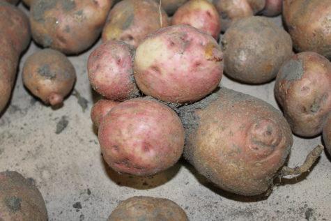 funny shaped potatoes 5