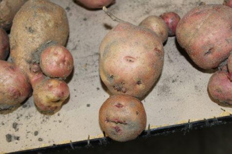 funny shaped potatoes 6