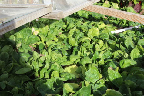 Over Wintering Spinach #3