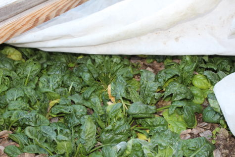 Over Wintering Spinach #4