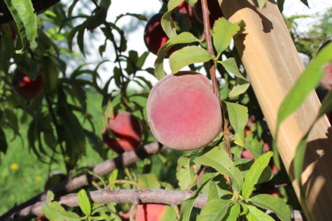 When to pick your peaches