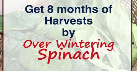 Over Wintering Spinach fb