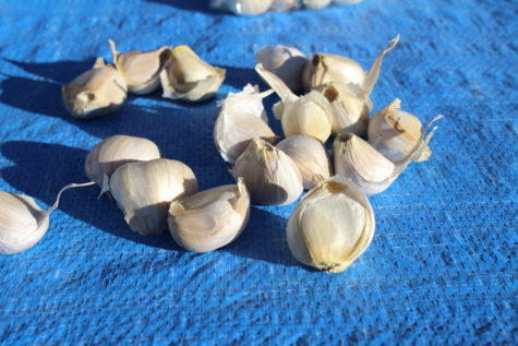 Buy Garlic Seed #3