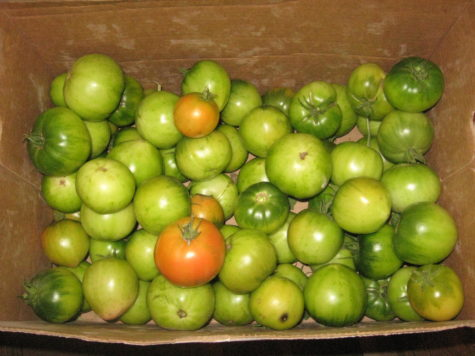 How to Ripen Green Tomatoes 4