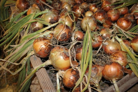 When to Harvest Onions 4