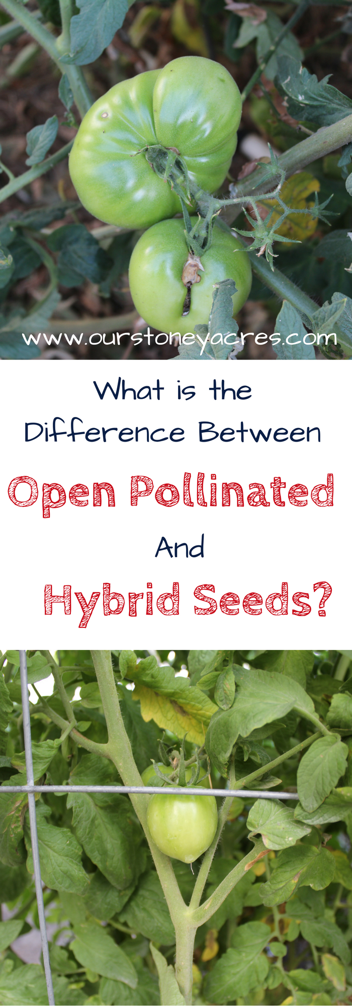 The difference between open pollinated and hybrid seeds