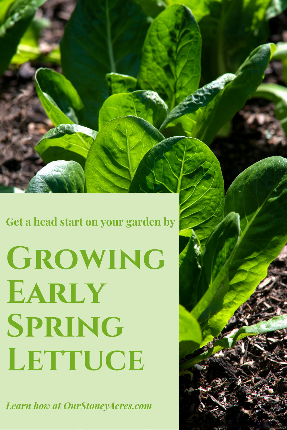 Growing Early Spring Lettuce