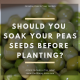 Soaking pea seeds
