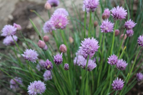 Close up photo of Flowering Chive plant in Garden