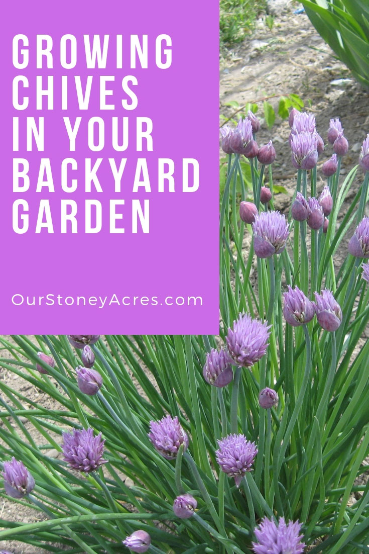 Growing Chives in your Backyard Garden