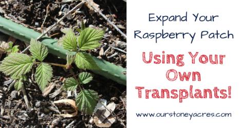 Transplanting Raspberries - FB
