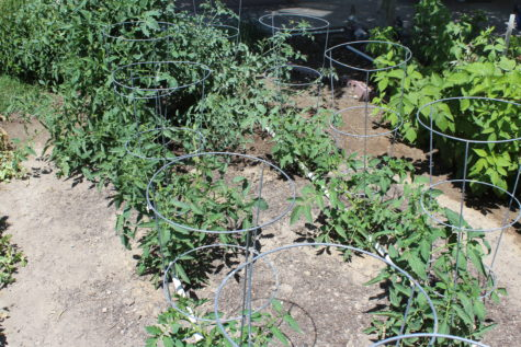 Using Tomato Cages 5