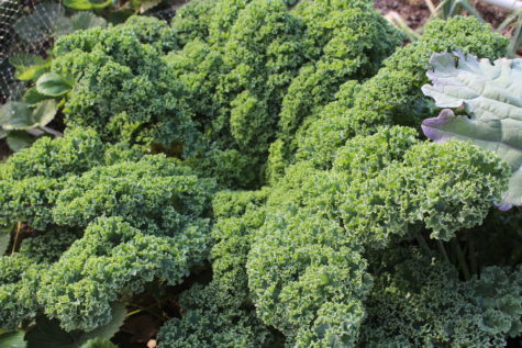3 types of Kale - Curly Leaf