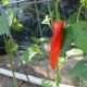 Growing peppers under shade cloth 4