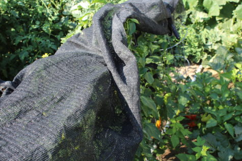 Growing peppers under shade cloth 3