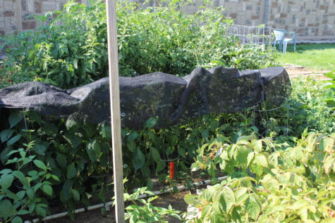 Growing peppers under shade cloth 2