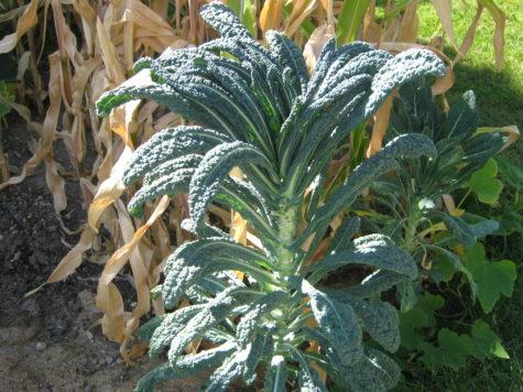 3 types of Kale - Tuscono