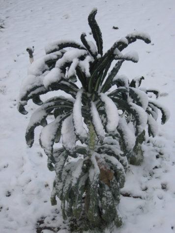 3 types of Kale - Winter