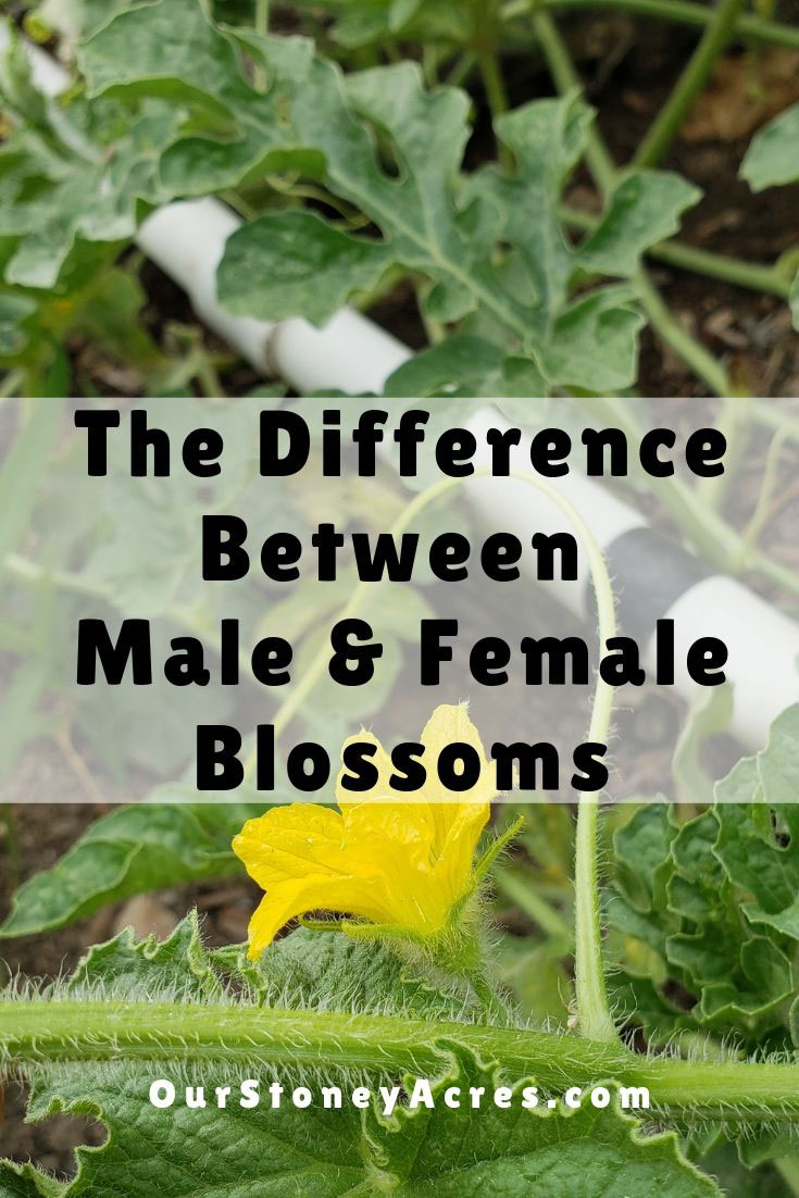 Male and Female blossoms