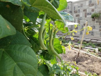 Growing Beans on a trellis 3