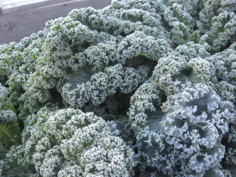 Growing Kale in the fall 1
