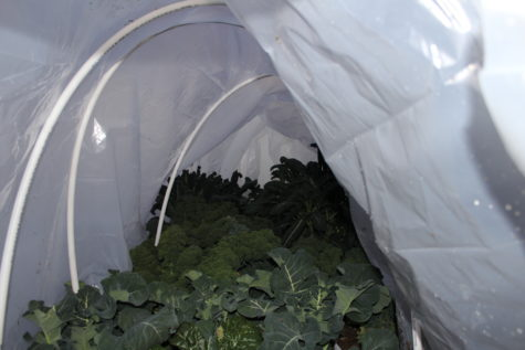 Growing Kale in the fall 2