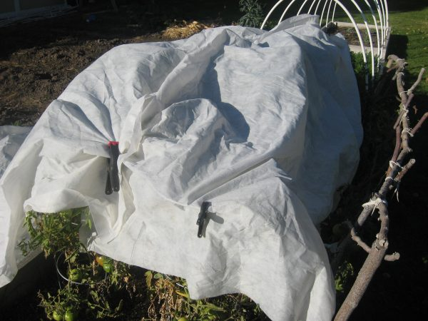 Protecting Your Tomatoes from Early Frost