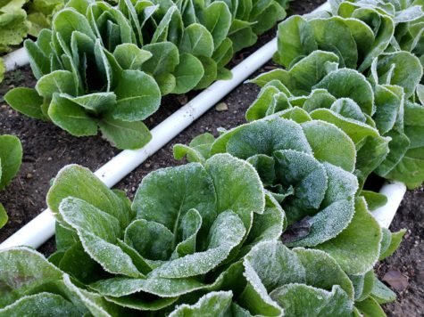 Growing your own Lettuce 4