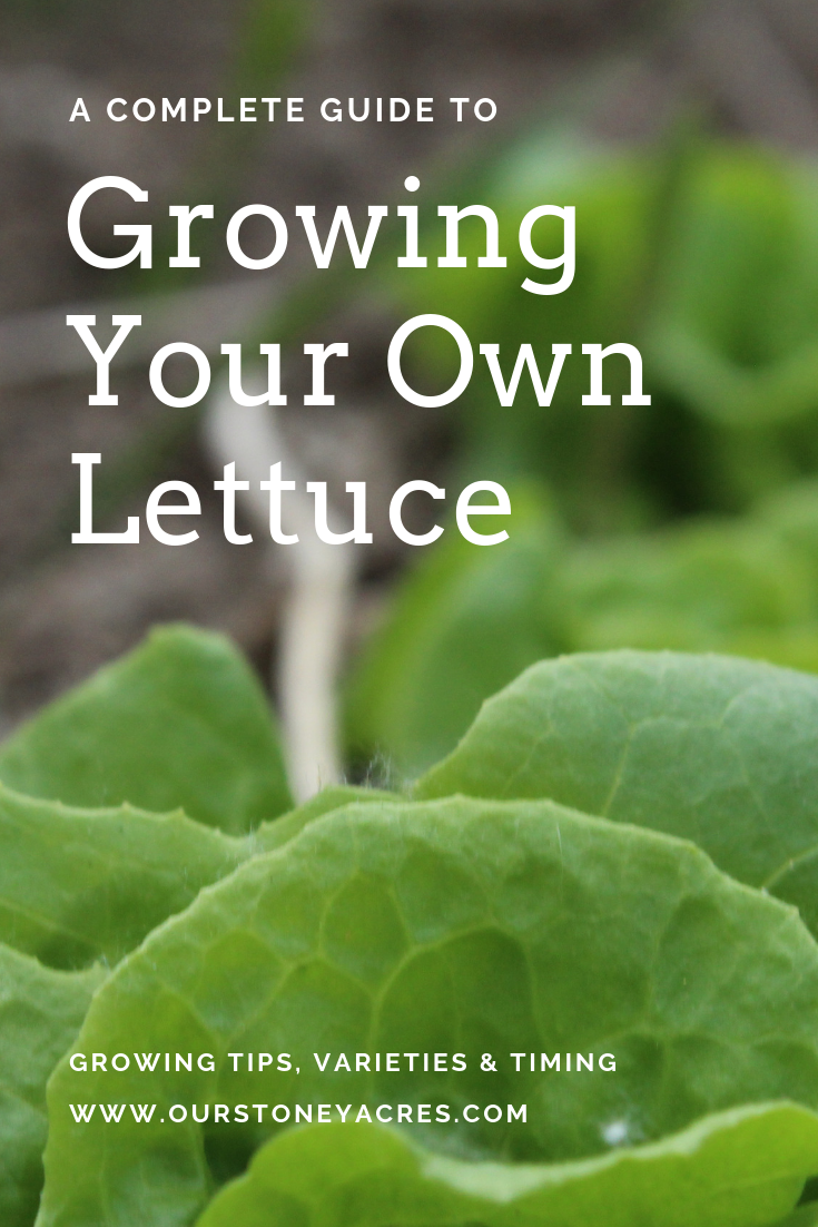 Growing your own Lettuce