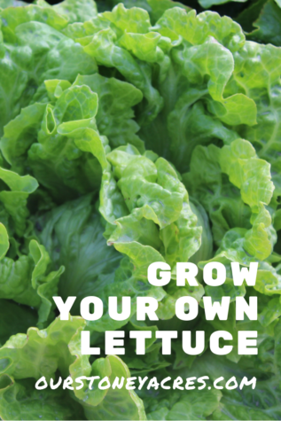 Grow Your Own Lettuce 8