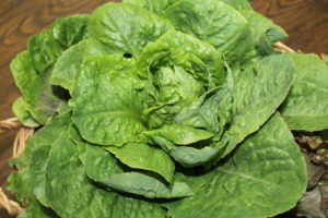 Growing your own Lettuce 2