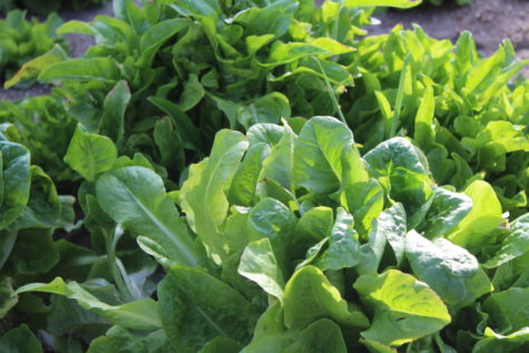 Growing your own Lettuce 1