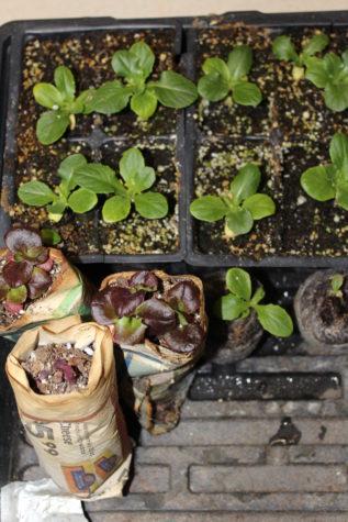 Starting Lettuce Seeds Indoors