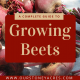 A Complete Guide To Growing Beets - FB