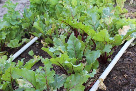 Growing Beets - Watering