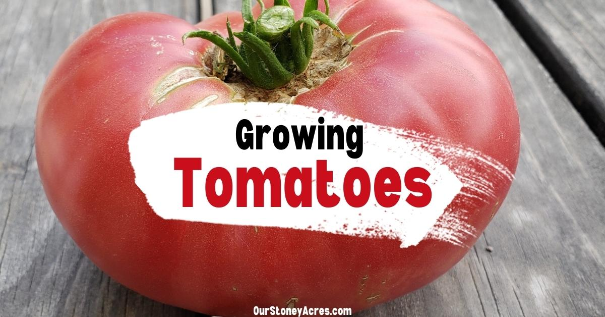 10 Growing tips for Tomatoes