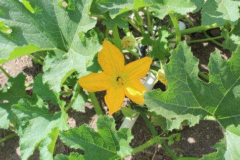 growing summer squash