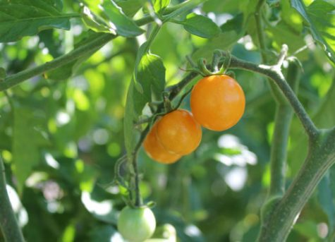 Perfectly ripe sun sugar tomatoes all ready for harvest