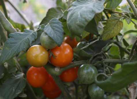 Sun Sugar Tomatoes in various stages of ripeness