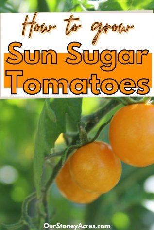How to Grow Sun Sugar tomatoes