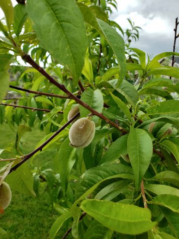 Growing Peaches on a Peach tree