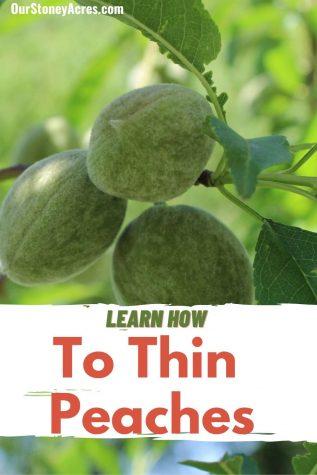 Thinning Peaches