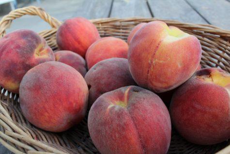 Harvest basket full of ripe peaches