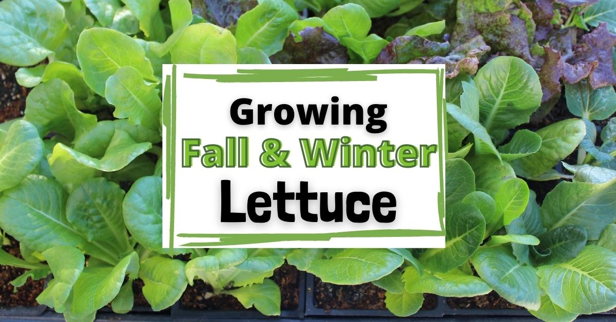 How to grow Lettuce in the Fall & Winter