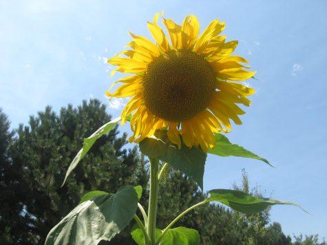 January Planting List - Start some Sunflowers
